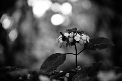 黄昏の紫陽花