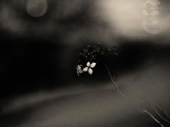 虚ろな点描 ~枯れ紫陽花~