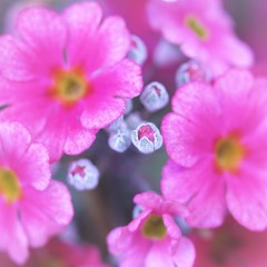 ♡Prettily Cupped Buds  ③
