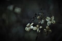 花の記憶 ~枯れ紫陽花~ 其の六