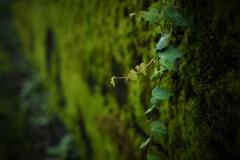 苔生す石塀