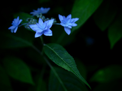 六月の青い星☆彡 - 七段花 -  ③