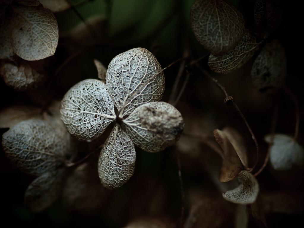 枯れ紫陽花 - 哀愁のモザイク -  ②