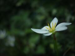 漂う花弁 ~玉簾 たますだれ~