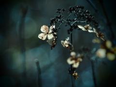 TAKUMARで撮る枯れ紫陽花  ⑥