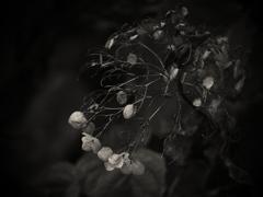 秋彼岸の終わる頃  ~枯れ紫陽花~