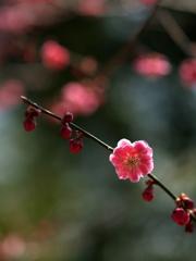春の陽に梅香る ②