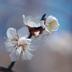 Plum Blossoms♡