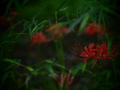 静の森の曼珠沙華 ②