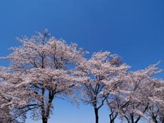 桜日和  ③