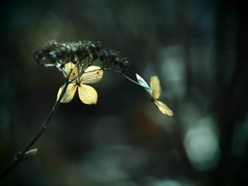 TAKUMARで撮る枯れ紫陽花  ⑤