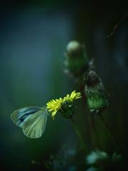 曇天下の蝶
