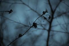 枯れ残る桜花