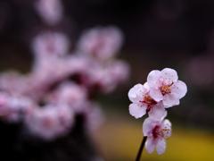 桜待ちの梅花  ②