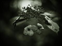 そして哀の刻  ~枯れ紫陽花~