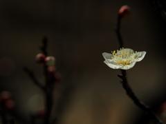 春光 -梅花一輪-