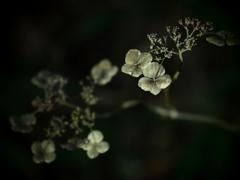 化石の花  ~枯れ紫陽花~