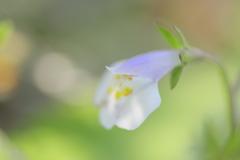 光のどけき 春の日に - トキワハゼ -