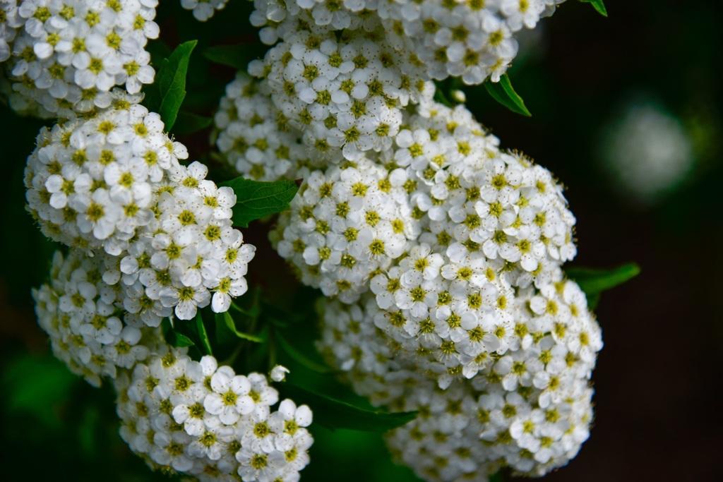 春花 コデマリ