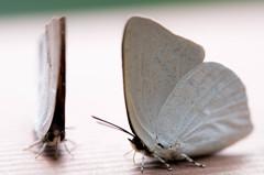 蝶 VS 蝶。