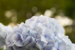 紫陽花2。