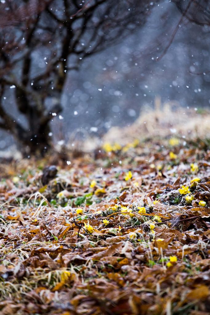 花散らす雪