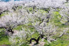 咲く果樹園