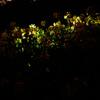 菜の花 ライトアップ