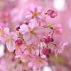 遅めの河津桜