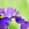 HANASYOBU -Purple 3rd-