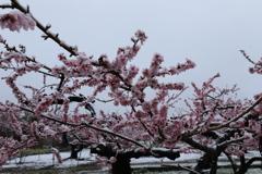 春の雪(桃の花)