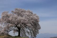 わに塚の桜・1