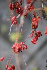 秋の実・1