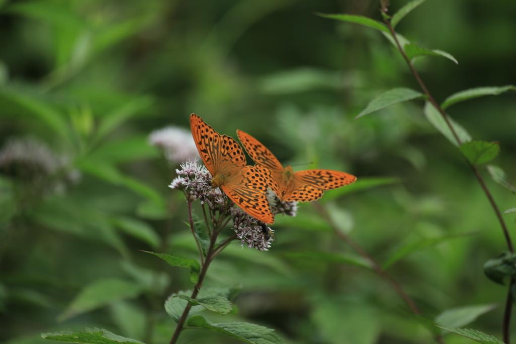 高原の蝶・1