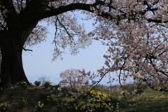 わに塚の桜・2