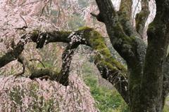 しだれ桜・2