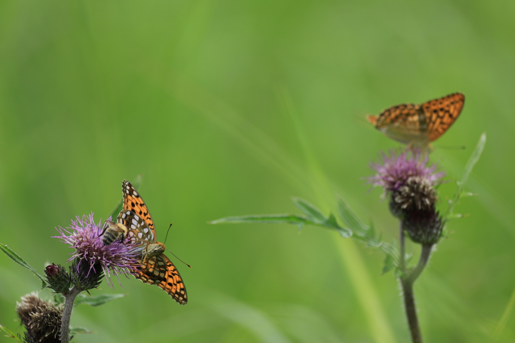 高原の蝶・3