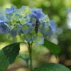 紫陽花に〃