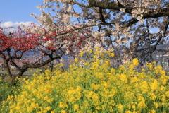 春爛漫(風に揺れて)