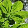 栃の木の葉っぱ