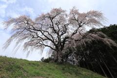 しだれ桜・1