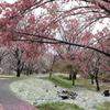 春の雪(花道)