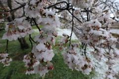 春の雪(桜)