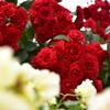 庄堺公園の薔薇1