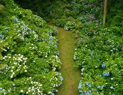 紫陽花の回廊