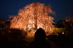 夕暮れにしだれ桜