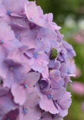 紫陽花にハナムグリ