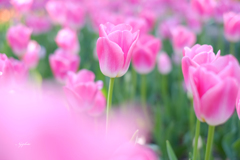 funwari pink