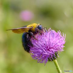 蜂とアザミ