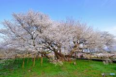 一心行の大桜4